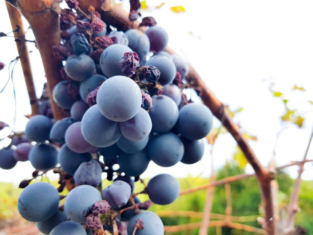 Así son las uvas que puedes encontrar en España